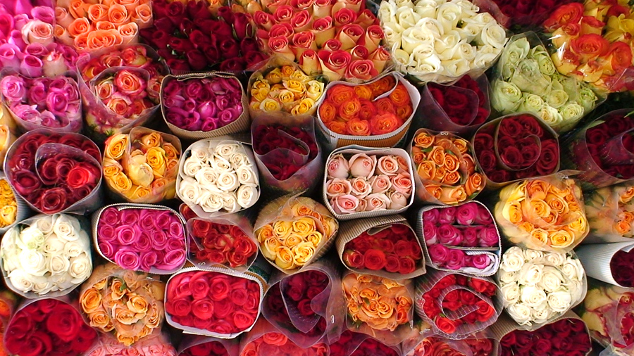ecuadorian rose industry Ecuador's cut-flower industry supplies roughly one-third of america's roses, but the industry is notorious for dangerous pesticides, poor labor practices and corrupt management.