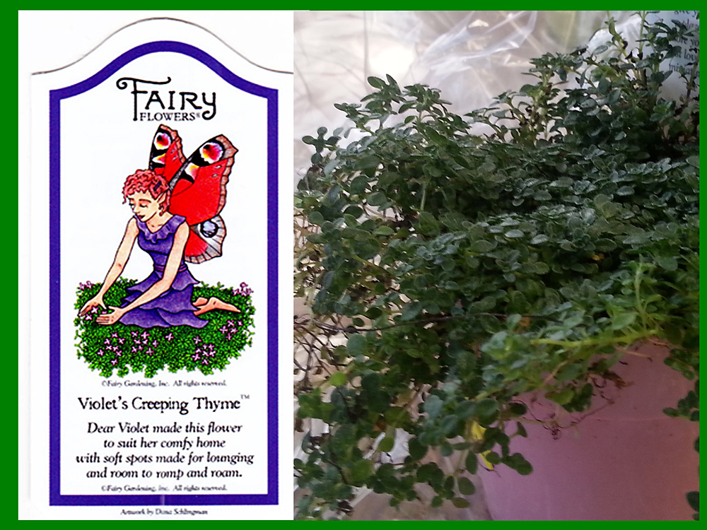 Violet's Creeping Thyme