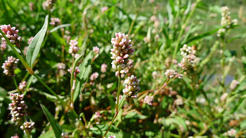 Wildflowers - Pale Smartweed