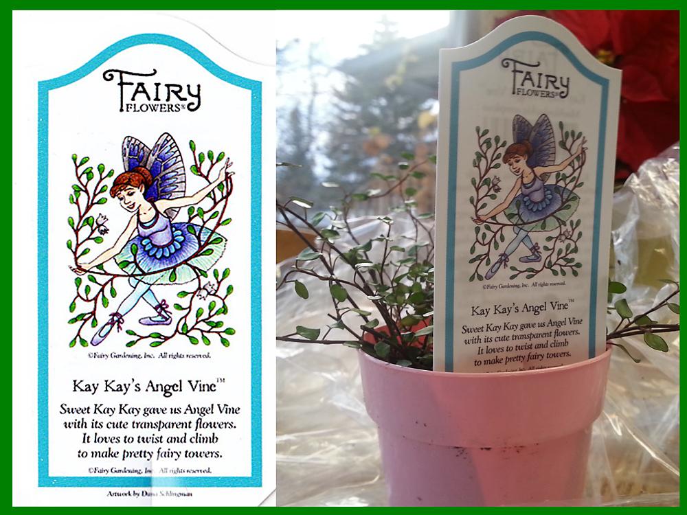 Kay Kay's Angel Vine