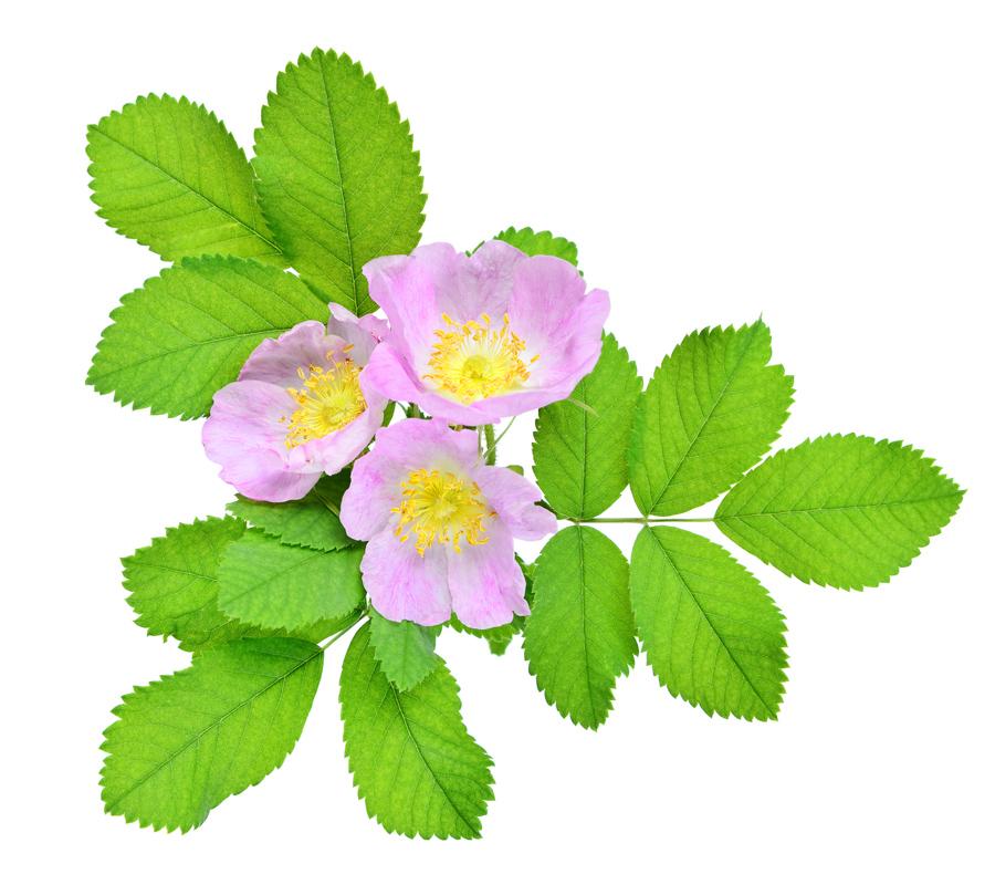 provincial flower - Alberta rose